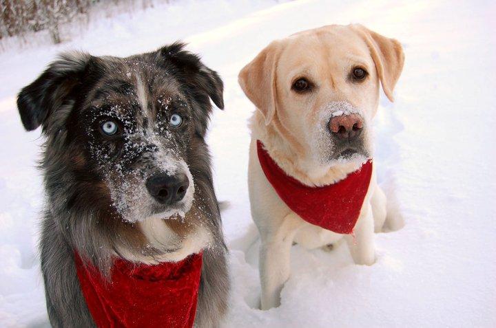 Magic och Charlie ser lika skeptiska ut över mina julkort som jag känner mig över hälsan :-P. December 2010